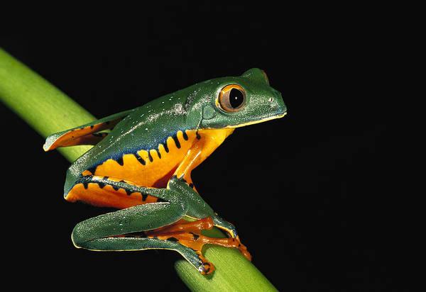 Wall Art - Photograph - Splendid Leaf Frog Ecuador by Pete Oxford