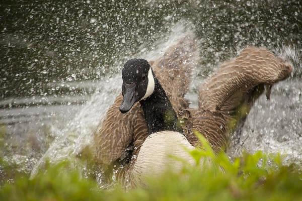 Canadian Goose Photograph - Splishing And Splashing by Karol Livote