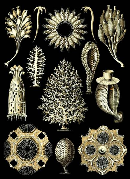 Digital Art - Sponges Sea Sponge Haeckel Calcispongiae Porifera by Movie Poster Prints