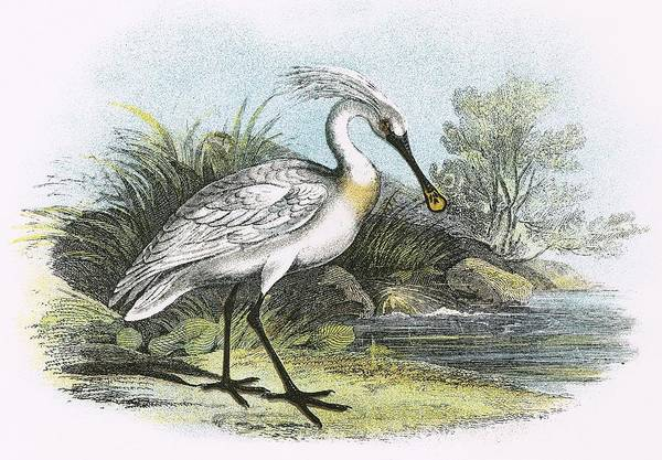 Wall Art - Painting - Spoonbill by English School