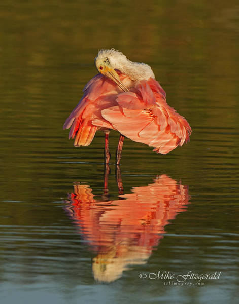 Photograph - Spoonie Preening by Mike Fitzgerald