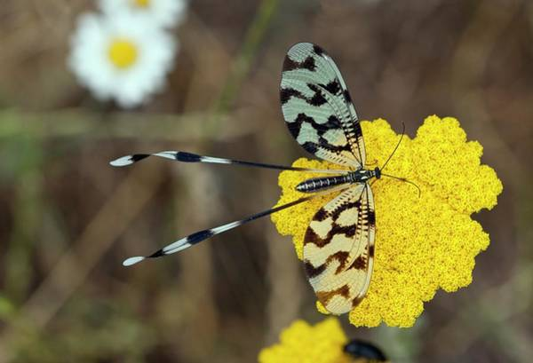 Eastern Europe Wall Art - Photograph - Spoonwing Lacewing On Achillea Flowers by Bob Gibbons