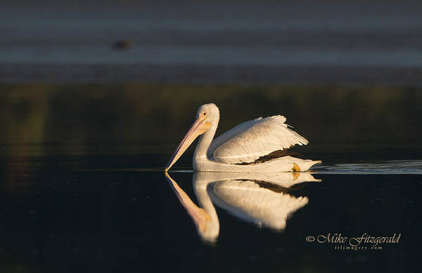 Photograph - Spotlight Pelican by Mike Fitzgerald