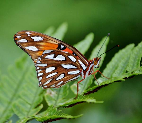 Photograph - Spotted Butterfly by Cynthia Guinn