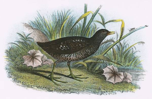 Marsh Bird Painting - Spotted Crake by English School