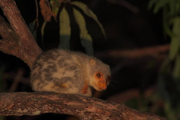 Wall Art - Photograph - Spotted Cuscus by Bruce J Robinson
