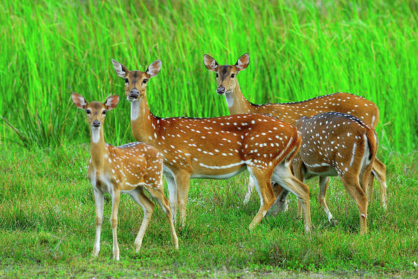 Fawn Photograph - Spotted Deer Fawn And Mother by Alex Dissanayake