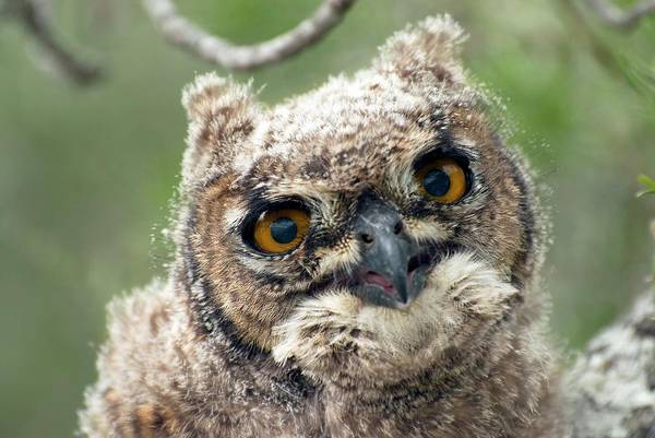 Wall Art - Photograph - Spotted Eagle-owl Chick by Peter Chadwick/science Photo Library
