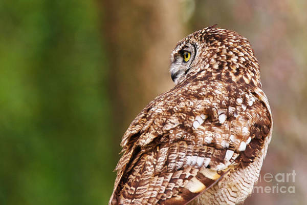 Photograph - Spotted Eagle-owl by Nick  Biemans