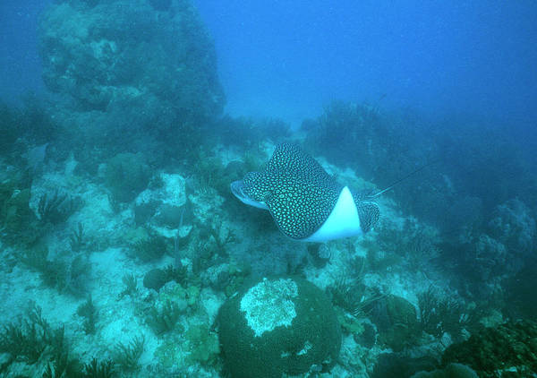 Eagle Ray Photograph - Spotted Eagle Ray by Jim Edds/science Photo Library