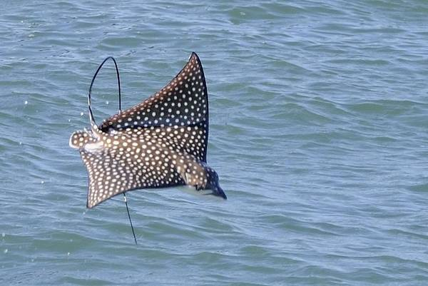 Photograph - Spotted Eagle Ray Jumping by Bradford Martin