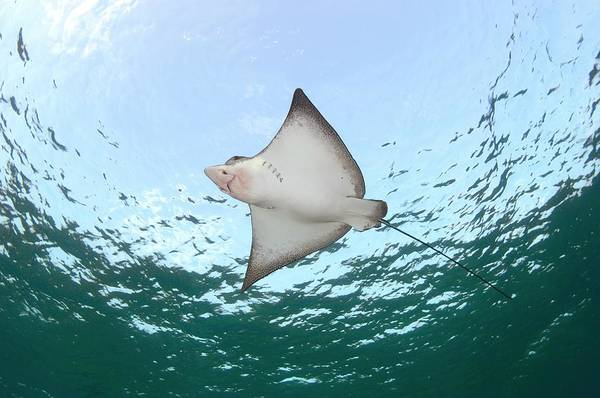 Wall Art - Photograph - Spotted Eagle Ray by Scubazoo/science Photo Library
