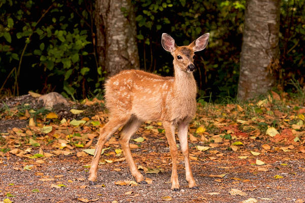Photograph - Spotted Fawn by Peggy Collins