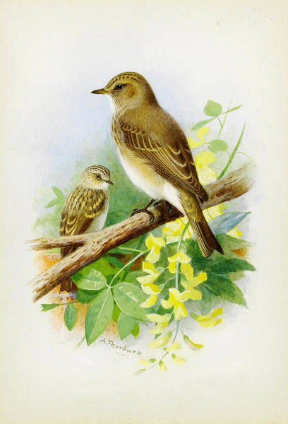 Flycatcher Painting - Spotted Flycatchers by Celestial Images