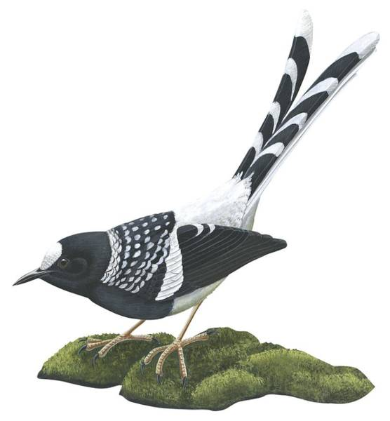 Gorgeous Drawing - Spotted Forktail by Anonymous
