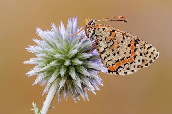 Imago Photograph - Spotted Fritillary by Heath Mcdonald