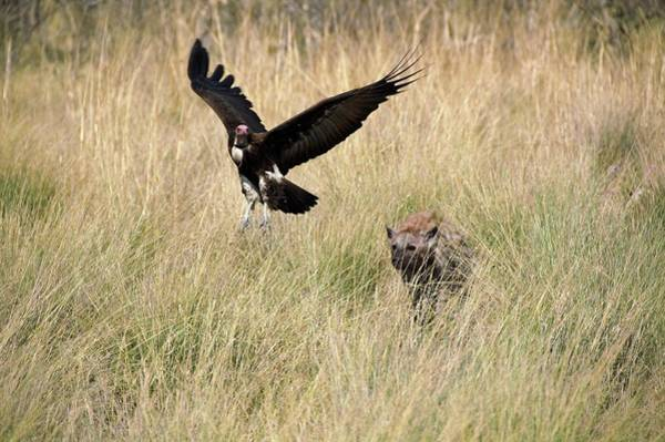 Hyena Photograph - Spotted Hyena Chasing A Hooded Vulture by Dr P. Marazzi/science Photo Library