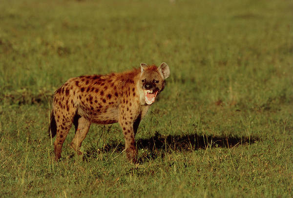 Hyena Photograph - Spotted Hyena (crocuta Crocuta) Baring Its Teeth by William Ervin/science Photo Library