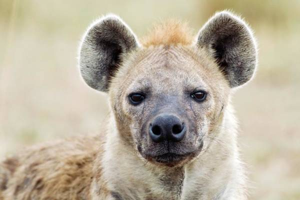 Hyena Photograph - Spotted Hyena by John Devries/science Photo Library