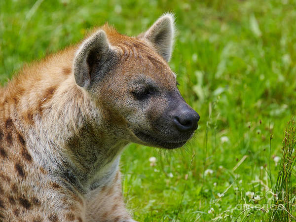 Photograph - Spotted Hyena by Nick  Biemans
