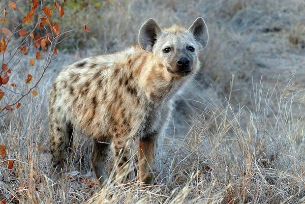 Hyena Photograph - Spotted Hyena by Peter Chadwick/science Photo Library
