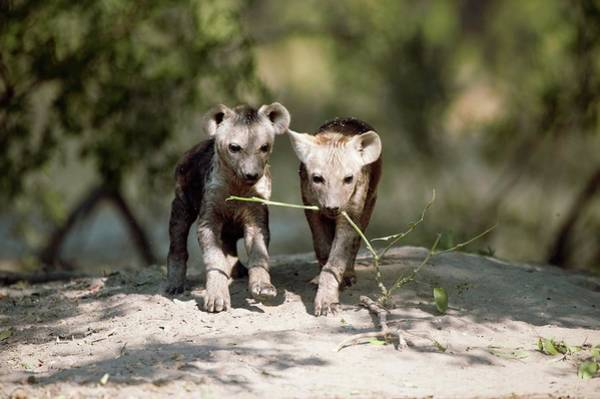 Hyena Photograph - Spotted Hyena Pups by Dr P. Marazzi/science Photo Library