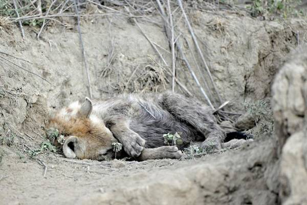 Hyena Photograph - Spotted Hyena Resting by Dr P. Marazzi/science Photo Library