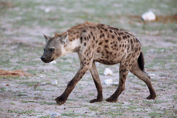 Hyena Photograph - Spotted Hyena by Simon Booth