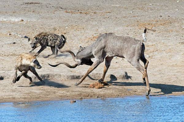 Hyena Photograph - Spotted Hyenas Confronting A Greater Kudu by Tony Camacho