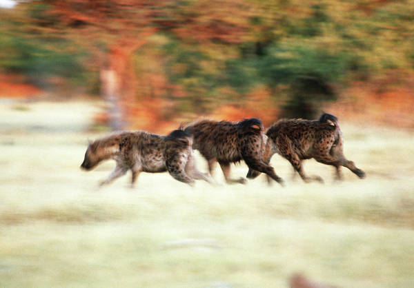 Scavengers Photograph - Spotted Hyenas by Tony Camacho/science Photo Library