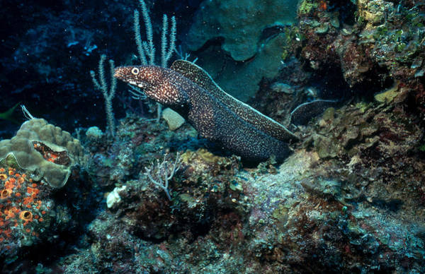Wall Art - Photograph - Spotted Moray Eel by Carleton Ray