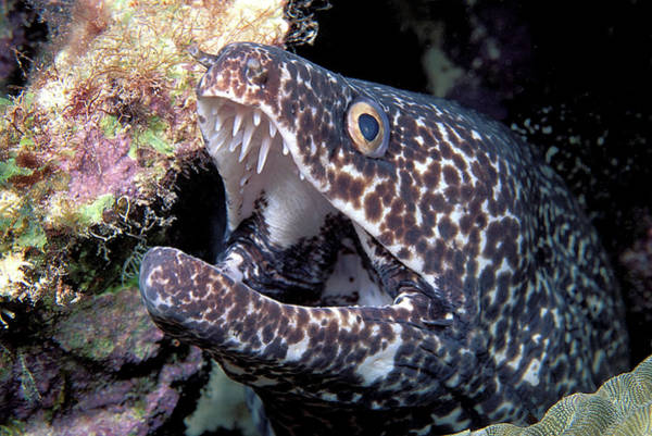 Wall Art - Photograph - Spotted Moray Eel by Clay Coleman/science Photo Library