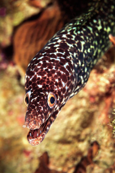 Eels Photograph - Spotted Moray (gymnothorax Moringa by James White