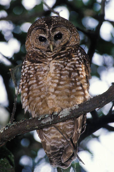 Wall Art - Photograph - Spotted Owl Strix Occidentalis by Ron Sanford
