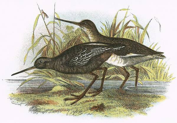 Ornithology Photograph - Spotted Redshank by English School