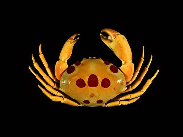 Chela Wall Art - Photograph - Spotted Rock Crab by Science Photo Library