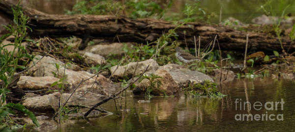 Lake Juliette Photograph - Spotted Sandpiper by Donna Brown
