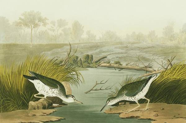 Wall Art - Photograph - Spotted Sandpiper by Natural History Museum, London/science Photo Library