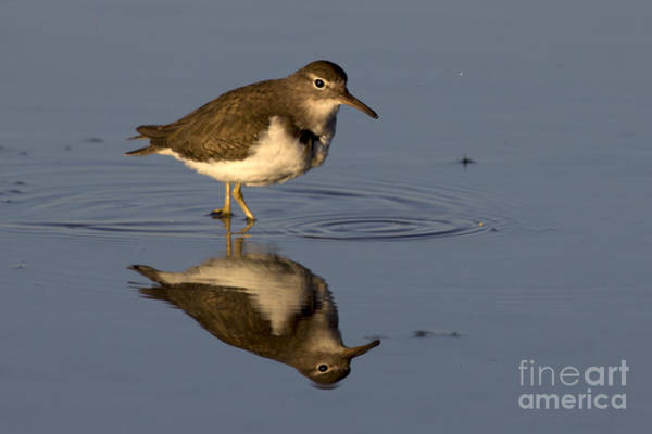 Photograph - Spotted Sandpiper Reflection by Meg Rousher
