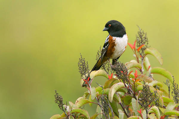 Beauty Spot Photograph - Spotted Towhee by Ram Vasudev