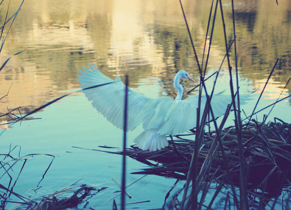 Egret Photograph - Spread Those Wings And Fly by Laurie Search