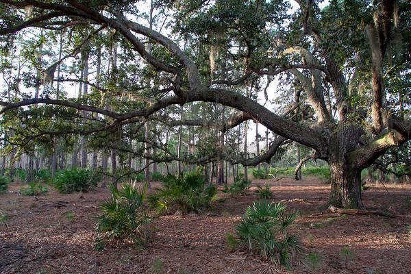 Palmetto Photograph - Spreading Oak by W Chris Fooshee