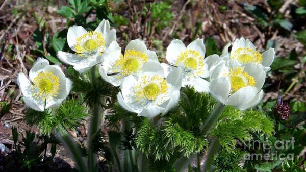 Photograph - Spring Anemone by Charles Robinson