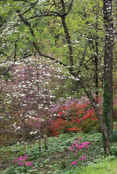 Photograph - Spring Azaleas 2 by Chris Scroggins