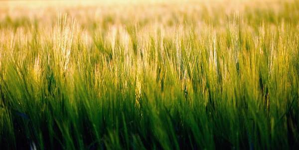 Photograph - Spring Barley 15584 by Jerry Sodorff