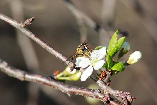 Spring Bee On Apple Tree Blossom Art Print