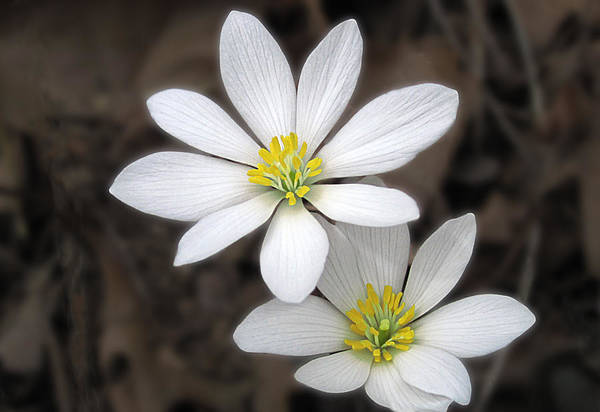 Photograph - Spring Bloodroot Wildflower by Lara Ellis