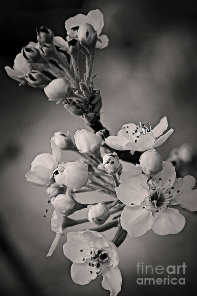 Photograph - Spring Blossoms  by Charles Muhle