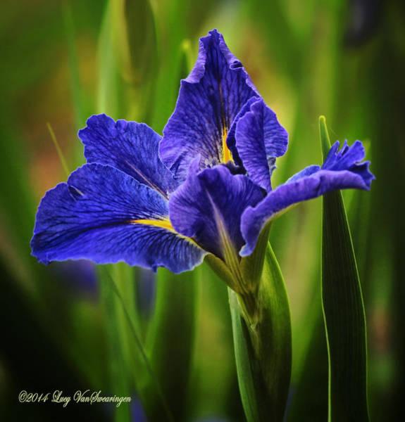 Spring Blue Iris Art Print