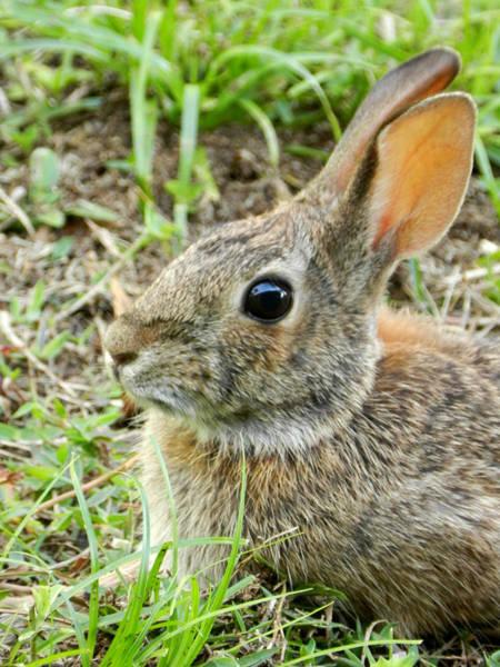 Photograph - Spring Bunny by Grace Dillon